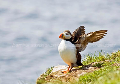 ATLANTIC PUFFIN. Taken in Witless Bay Ecological Reserve, Newfoundland, Canada [puffin_8686]