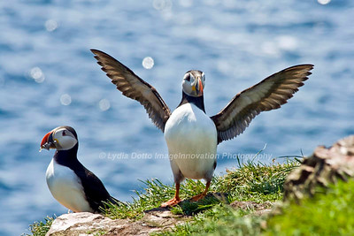 ATLANTIC PUFFINS. Taken in Witless Bay Ecological Reserve, Newfoundland, Canada [puffins_8932]