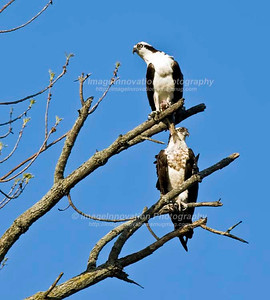 OSPREY (Pandion haliaetus) perched in a tree. The one on top has a fish grasped in its claw. [osprey_7766]