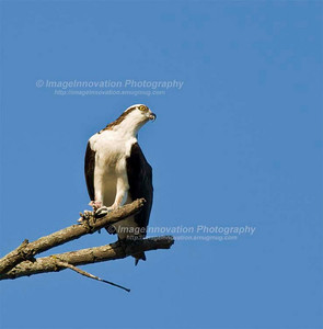 OSPREY (Pandion haliaetus) perched in a tree, clutching a fish in its claws. [osprey_7941]