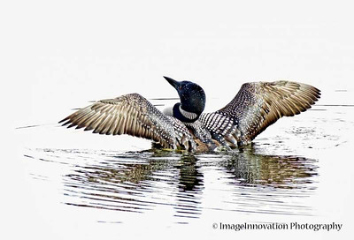 Common loon (high key) [loon_0215]