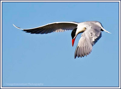 Common tern hovering over water while fishing. [tern_1427]