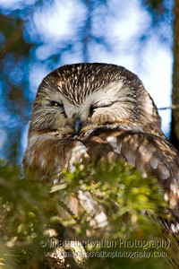 SAW-WHET OWL asleep. Taken on Amherst Island, Ontario. [sawwhet_4949]