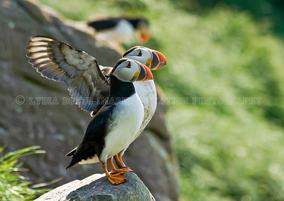 ATLANTIC PUFFINS. Taken in Witless Bay Ecological Reserve, Newfoundland, Canada [puffins_8739]