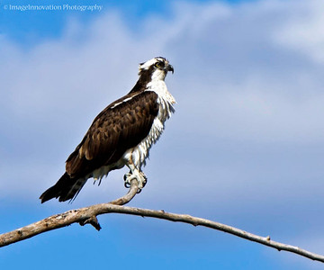 OSPREY perched on branch [osprey_0387]