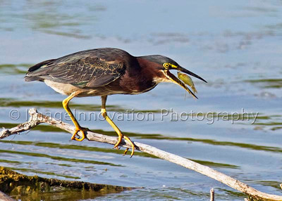 A green heron flips a fish in its mouth so it can swallow the fish head-first. This is to protect its throat from the fish's spines and scales.  [greenheron_3434]