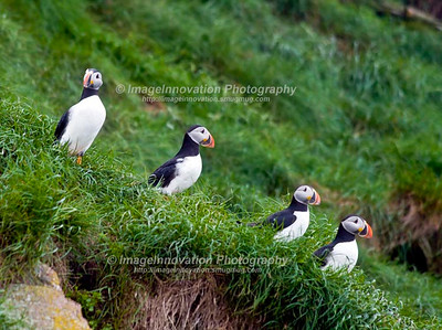 ATLANTIC PUFFINS. Taken in Witless Bay Ecological Reserve, Newfoundland, Canada [puffin_6070] [