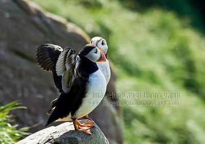 NEWFOUNDLAND - WITLESS BAY  ATLANTIC PUFFINS. Taken in Witless Bay Ecological Reserve [puffins_8710]