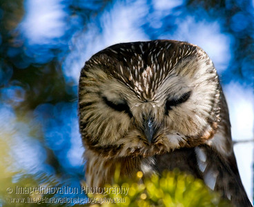SAW-WHET OWL asleep. Taken on Amherst Island, Ontario. [sawwhet_4849]