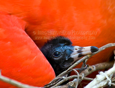 Scarlet ibis (Eudocimus ruber ) chick nestled under mom's wing. Taken at Bird Kingdom aviary, Niagara Falls, Ontario, Canada. [ibis_3793]