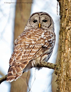 Barred Owl. Taken in Presqu'ile Provincial Park [barredowl_5031]