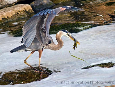 Great blue heron fishing. Scotts Mills Lock, Peterborough