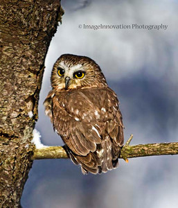 Saw-whet owl. [Captive] [owl_9560]