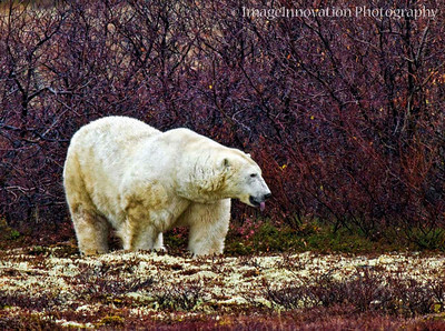 POLAR BEAR - sticking tongue out CHURCHILL, MANITOBA, OCT. 2011 [polarbear_2707]