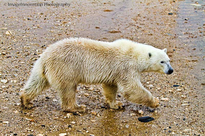 POLAR BEAR - walking in the rain with wet fur CHURCHILL, MANITOBA, OCT. 2011 [polarbear_3432]