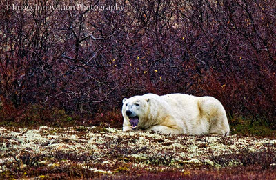 POLAR BEAR - yawning CHURCHILL, MANITOBA, OCT. 2011 [polarbear_2650]