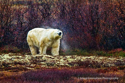 POLAR BEAR - shaking water off his fur CHURCHILL, MANITOBA, OCT. 2011 [polarbear_2674]