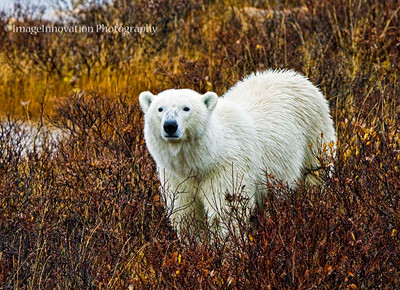 POLAR BEAR - walking in the rain with wet fur CHURCHILL, MANITOBA, OCT. 2011 [polarbear_3397]