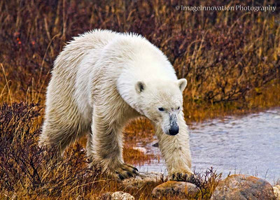POLAR BEAR - walking in the rain with wet fur CHURCHILL, MANITOBA, OCT. 2011 [polarbear_3381]