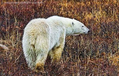 POLAR BEAR - walking in the rain with wet fur CHURCHILL, MANITOBA, OCT. 2011 [polarbear_3438]