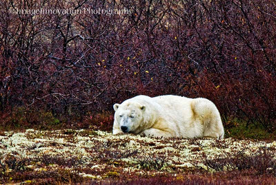 POLAR BEAR - sleeping. CHURCHILL, MANITOBA, OCT. 2011 [polarbear_2651]