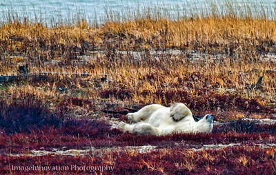 POLAR BEAR - rolling in the grass CHURCHILL, MANITOBA, OCT. 2011 [polarbear_3077]