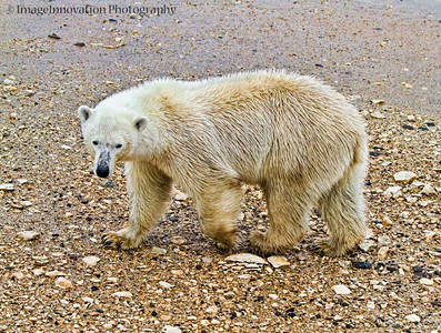 POLAR BEAR - walking in the rain with wet fur CHURCHILL, MANITOBA, OCT. 2011 [polarbear_3424]