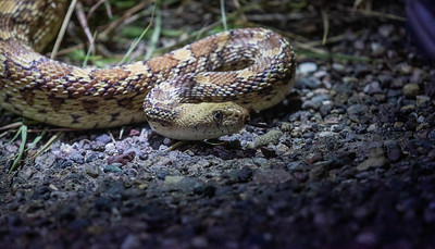 ... as well as Arizona King Snakes and this beauty, a Gopher Snake.