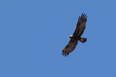 As if on cue, just one minute before the first meeting, this Golden Eagle flew over the ranch, a lifer for Marcelo Barreiros, attending his very first annual meeting! (Marcelo worked for years with Harpy Eagles, and he loved the Golden, as you can imagine.)