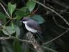 Mangrove Robin-2960472500-O