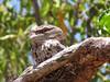 Tawny Frogmouth-2960506562-O