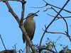 Great Bowerbird-2960507959-O