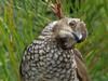 female Regent Bowerbird (2)-2960590276-O