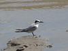 Little Tern-2960457825-O