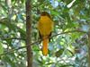 Golden Bowerbird-2960544111-O