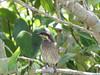 Mangrove Honeyeater-2960579408-O