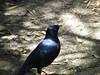 Satin Bowerbird-2960645003-O