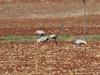 far away Sarus Cranes-2960518048-O