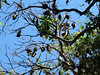 Spectacled Flying Fox colony-2960476709-O