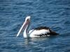 Australian Pelican-2960538722-O