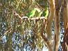 Superb Parrot feeding young-2960694962-O