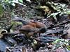 Albert's Lyrebird feeding youn-2960627827-O