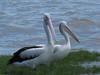 Australian Pelicans-2960460265-O
