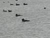 male and female Musk Ducks-2960752954-O