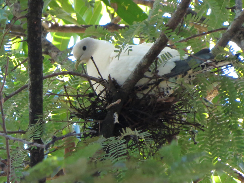 Torresian Imperial-Pigeon on n-2960481589-O