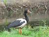 Magpie Goose-2960492386-O