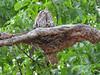 Tawny Frogmouth (2)-2960505678-O