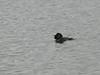 male Musk Duck-2960752018-O