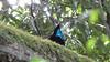 Paradise Riflebird (3)-2960623650-O