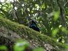 Paradise Riflebird (4)-2960624718-O